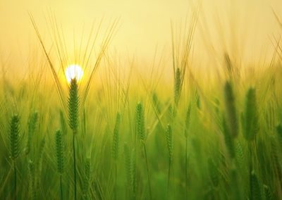 barley field 1684052 340