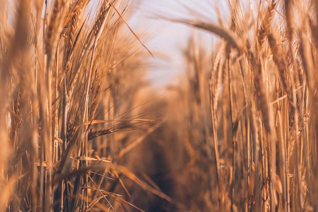 champ blé argalys vegan